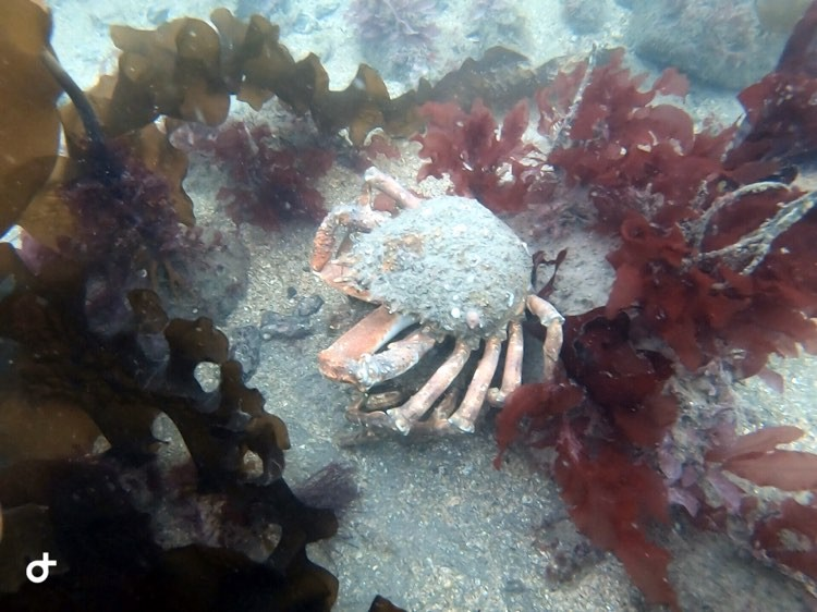Research Diver Course Spider Crab
